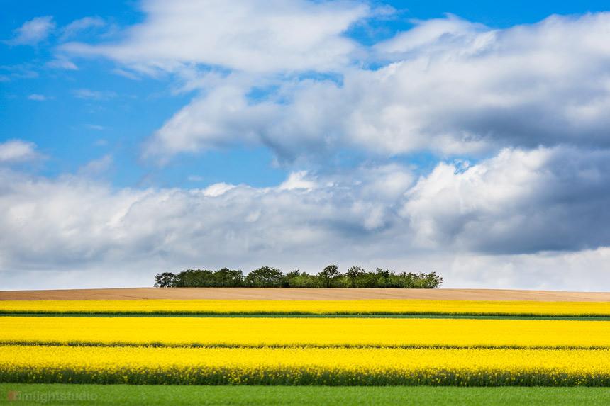 Kwitnące pola rzepaku w maju są spektakularne. Wielkie połacie żółtych kwiatów pokrywają pola Dolnego Śląska.