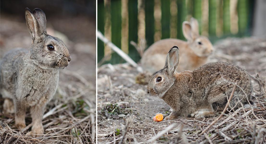 Dzikie króliki